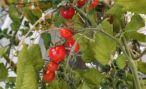 На Ставрополе собрано 38% урожая томатов
