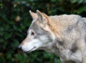 На Ставрополье четыре человека пострадали от нападения волков