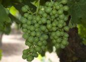 В Буденновском районе собрали рекордный урожай винограда