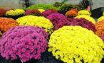 В Ставрополе зацвели 4 авторских сорта хризантем
