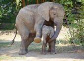 Росгосцирк и сафари-парк Live Vision открыли санаторий для слонов