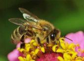 На Ставрополье массово гибнут пчелы