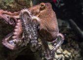 Самки осьминогов отгоняют раздражающих их поклонников, бросая в них ракушки