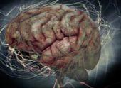 Ученые выяснили, как возбуждение меняет нейронные пути в головном мозге